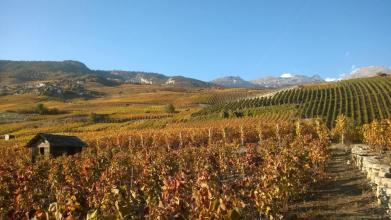 Valais Vineyards - Sierre